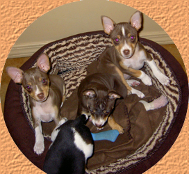 Rat Terrier Puppies Rat Terrier Puppies For Sale Rat Terrier